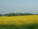 Oilseed rape in full flower